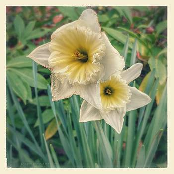 Shy Daffodils by Kathy Barney