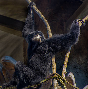 Siamang resting high by Tito Santiago