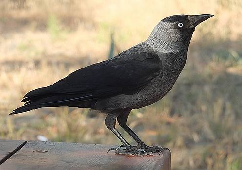 Tracey Harrington-Simpson - Side View Of A Wild Jackdaw