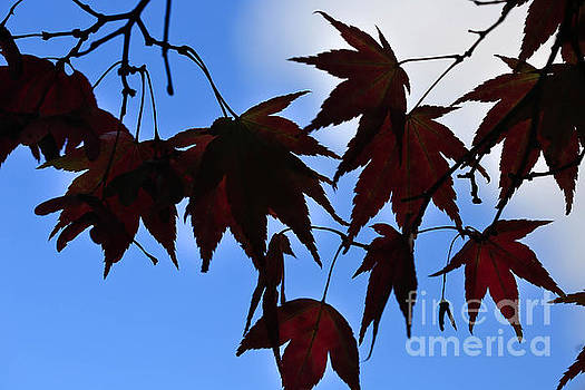 Silhouette Maples by Tracy  Hall