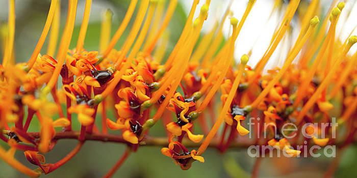 Charmian Vistaunet - Silk Oak Tree Flower