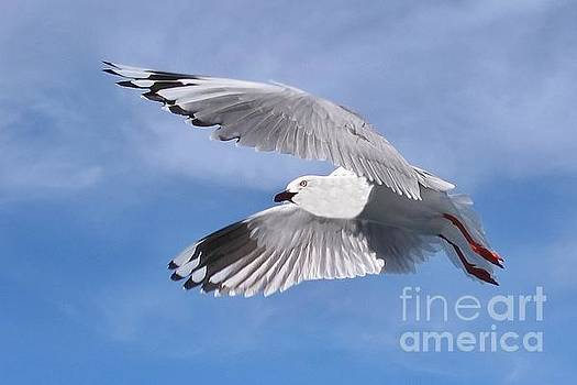 Silver Gull in Full Flight in  Blue Sky.  Exclusive Original stock Photo Art  by Geoff Childs