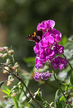Silver Spotted Skipper and Everlasting Sweet Pea by Teresa Mucha