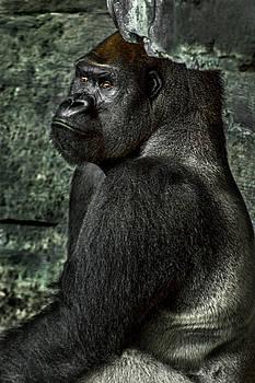 Silverback Gorilla looking at the moon wondering by Tito Santiago