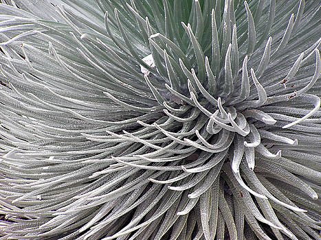 Silversword by Tim Stringer