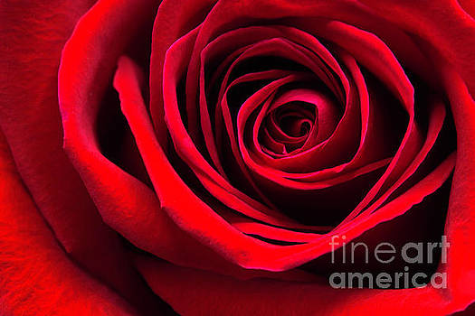 Simply A Red Rose by Cindi Ressler
