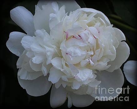 Simply White - Peony by Dora Sofia Caputo Photographic Art and Design