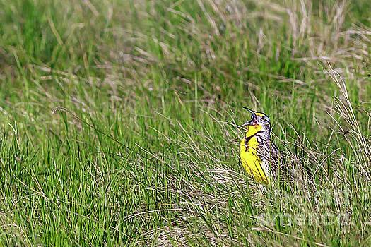 Singing Western Meadowlark by John Lee