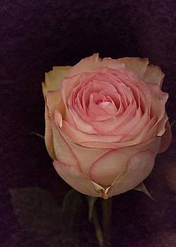 Single 2017 Vintage Rose by Richard Cummings