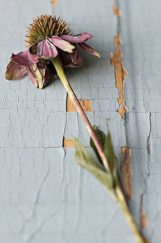 Single Coneflower Stem On Chipped Wood Background by Di Kerpan