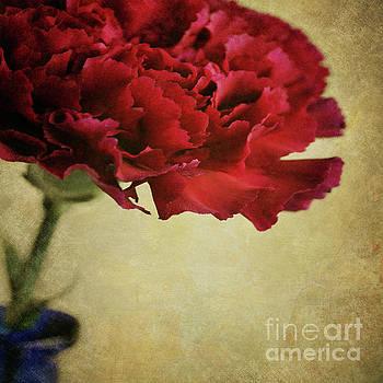 Single dark red Carnation in blue bottle by Lyn Randle