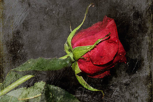 Single Rose by M Montoya Alicea