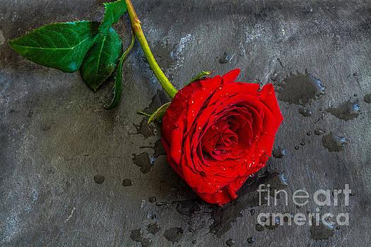 Randy Steele - Single Rose on Slate Still Life