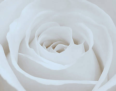 Single White Rose by Suzanne Stout