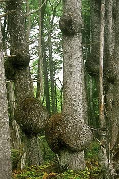 Christine Till - Sitka Spruce Burls on the Olympic Coast Olympic National Park WA