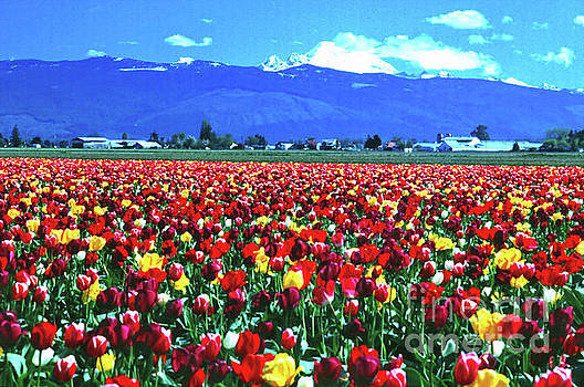 Skagit Tulip Fields and Mt. Baker by Ansel Price
