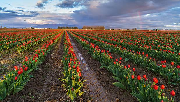 Mike Reid - Skagit Tulip Fields Red Rows And Rainbow
