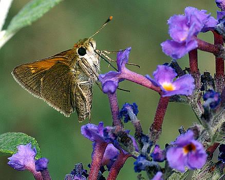 Skipper on butterfly bush by Rex E Ater