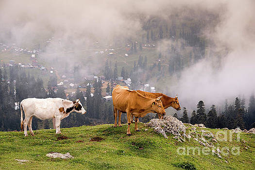 Svetlana Sewell - Sky High Cows