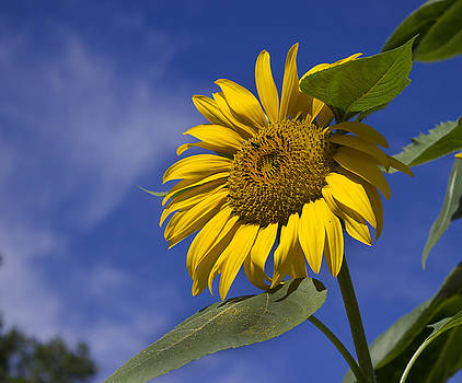 Skyward Sunflower by Mark Michel