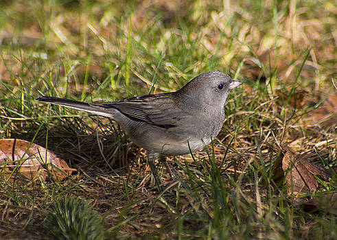 Slate-Colored Junco by Ron Grafe