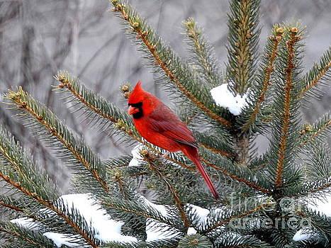 Sleeping Cardinal by Brenda Bostic