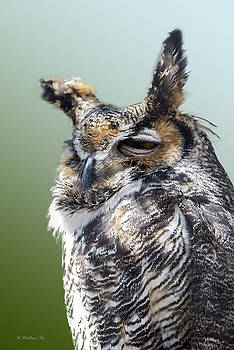 Sleepy Great Horned Owl by Brian Wallace