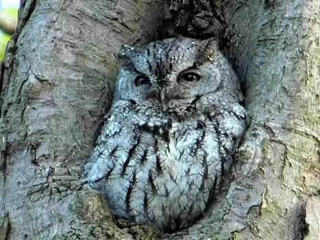 Sleepy Screech Owl Ohio by Nancy Spirakus