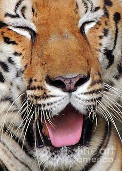 Sleepy Tiger by Lydia Holly