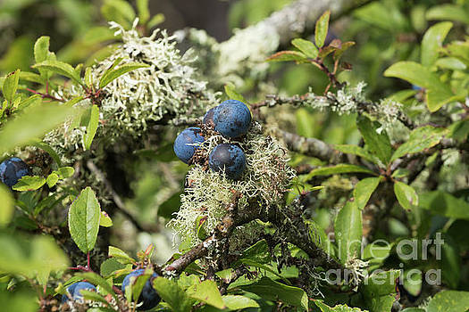 Sloe Berries and Lichen by Terri Waters
