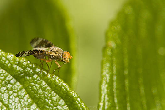 Small orange fly by Jouko Mikkola