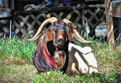 Smelly old Goat by Savannah Gibbs