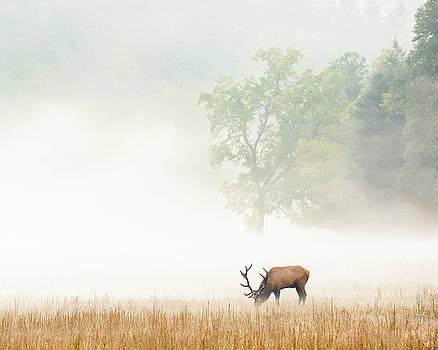 Smoky Mountain Elk in Fog by Bill Swindaman