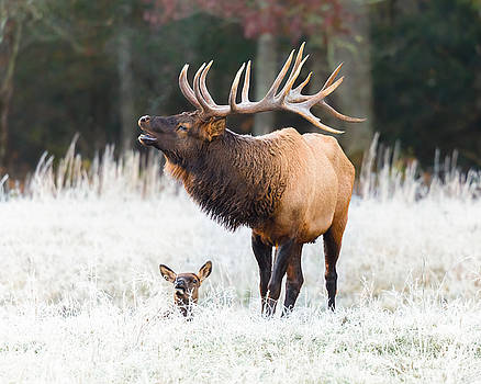 Smoky Mountain Elk - North Carolina's Cataloochee Valley Wildlife by Bill Swindaman