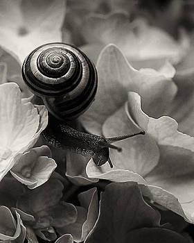 Snail on Hydrangea by Joseph Duba