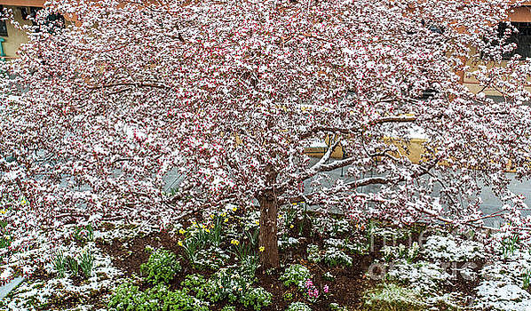 Snow Blossoms by Roselynne Broussard