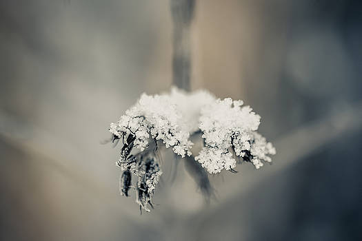 Snow flower by Cindy Grundsten