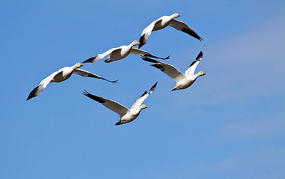 Snow Geese flormation by Elvira Butler