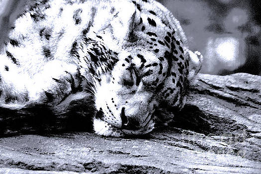 Snow Leopard Napping on a Warm Rock by Deanna Wright