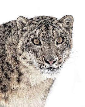 Snow Leopard Portrait D1068 by Wes and Dotty Weber