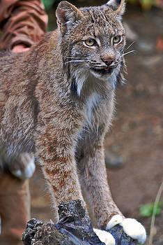 Snow Lynx by Preston Zeller