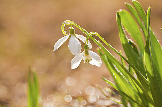 Snowbell with Dew Drops by Christine Amstutz