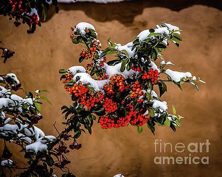 Jon Burch Photography - Snowberries