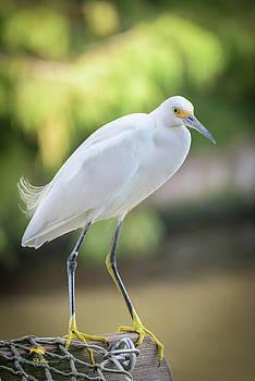 Snowy Egret 1 by Jim Thompson