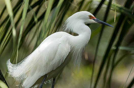 Snowy Egret by Gregg Southard