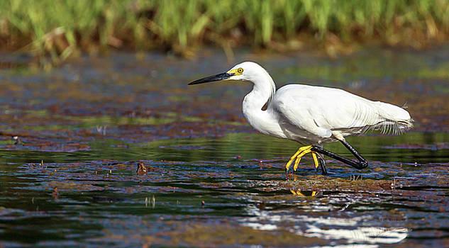 Snowy Egret by Henry Gray