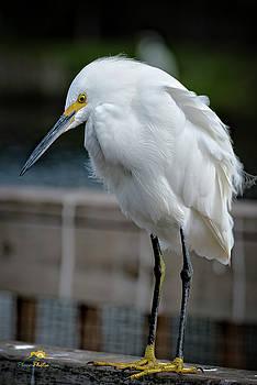 Snowy Egret by Jim Thompson
