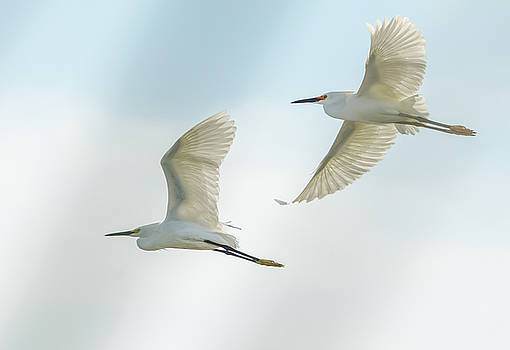Snowy Egret Pair by Tam Ryan