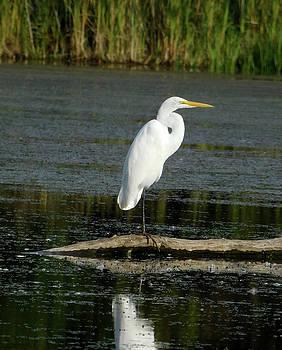 Great White Egret Profile by Nancy Spirakus