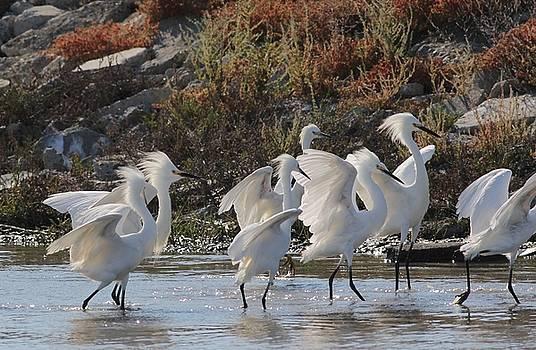 Snowy Egrets by Elka Lange